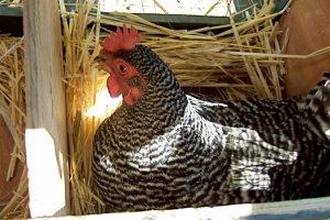o que significa sonhar com galinha personare